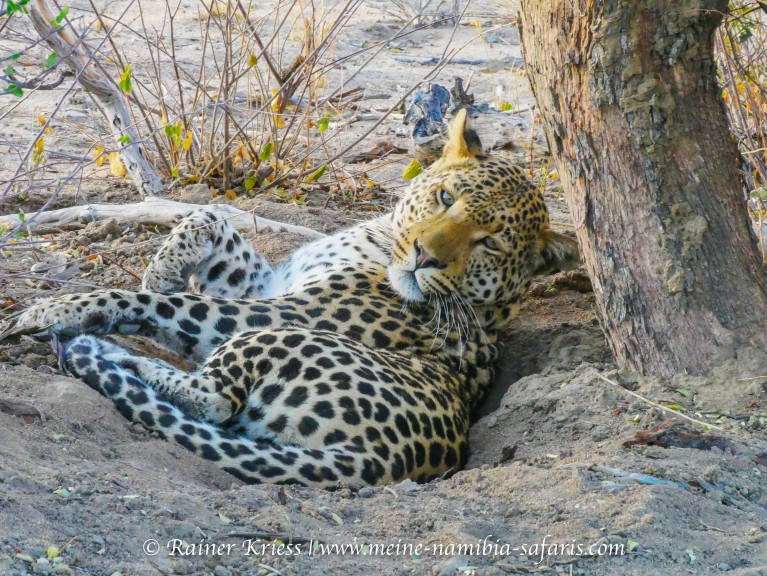 Leoparden Tracking (Okonjima)