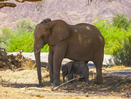 Desert Elephant Experience - all day